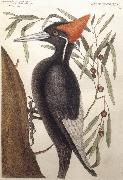 Catesby Mark Largest White Billed Woodpecker oil painting picture wholesale